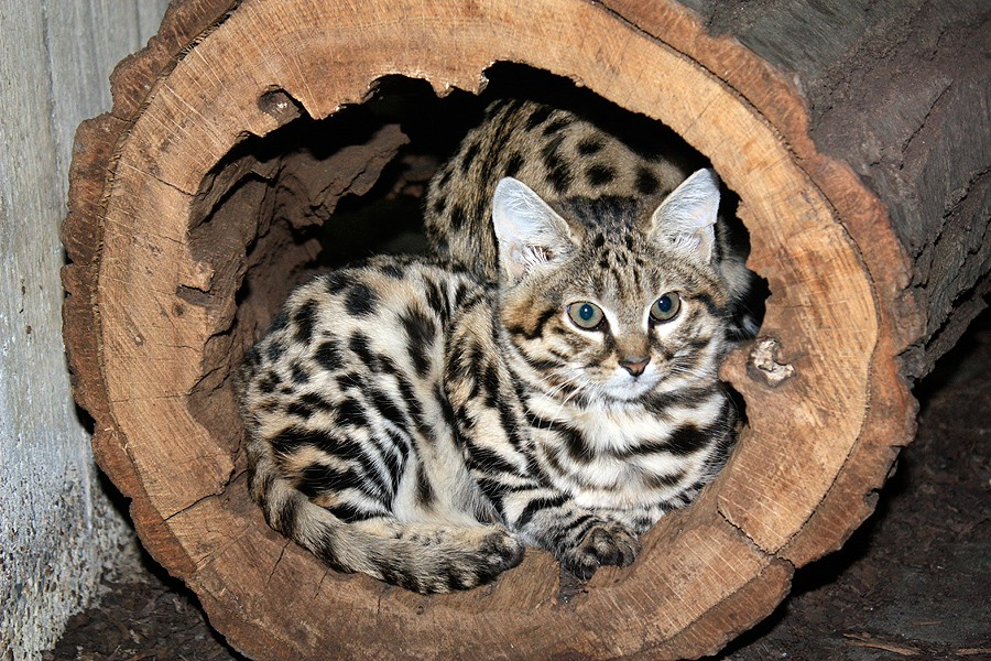 African Black-Footed Cat - Findings from Leslie Lyons' study could help feline preservationists implement breeding strategies in captivity for rare and endangered species such as the African black-footed cat. Credit: Cleveland Zoo