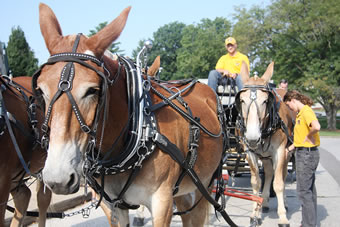 Both mule teams, Tim and Terry and Kate and Molly, worked together to provide wagon rides to reunion attendees.