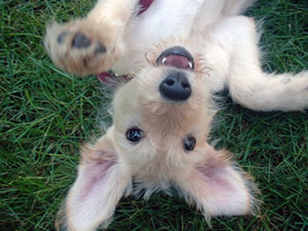 Jasper as a playful puppy.