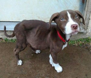 Topher was a 3-month-old mixed breed puppy, when he was rescued from a dumpster in southwest Missouri.