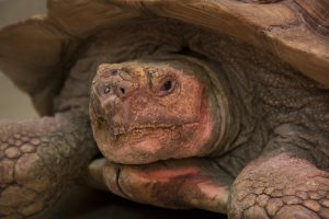 Mr. Pibb, a 60-pound sulcata tortoise, was referred the Veterinary Health Center for treatment of a large hole between the oral and nasal cavities.