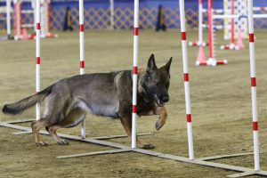 Schatzi showing her form as she works her way through weave poles, one of the components in agility contests.
