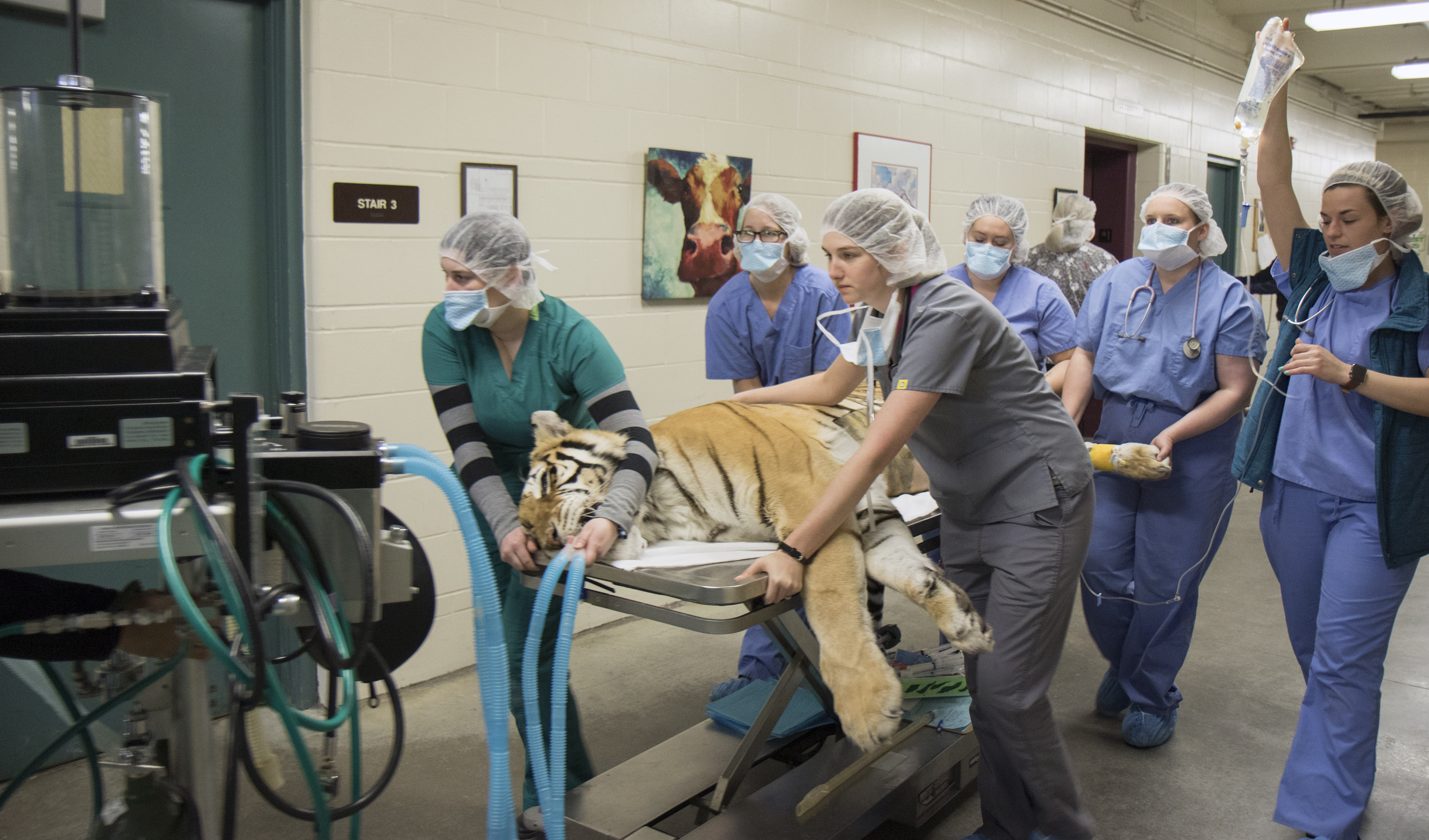 While still anesthetized Zahara is wheeled back to her cage after surgery.