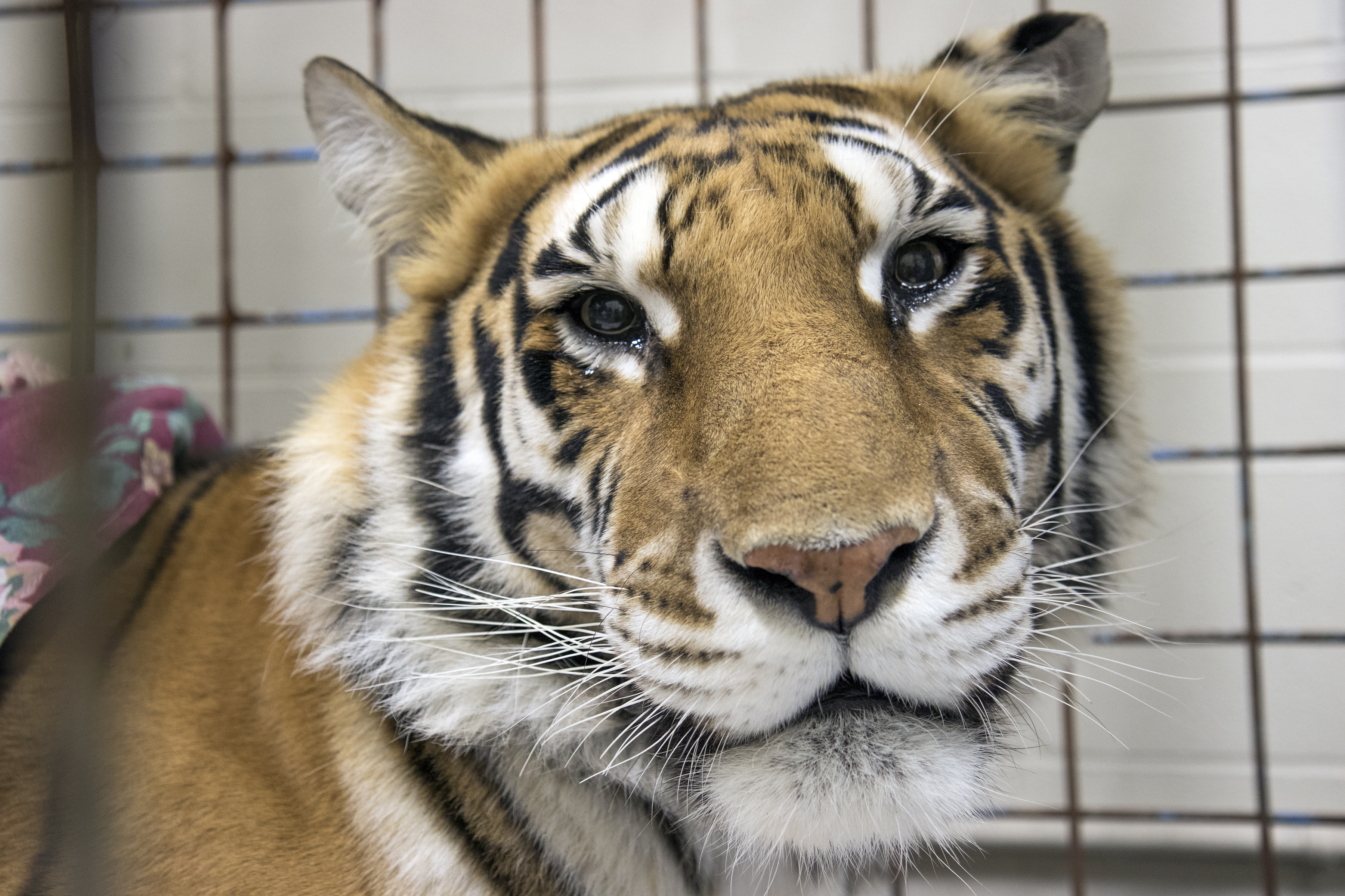 Zahara is recovering well at the animal park.