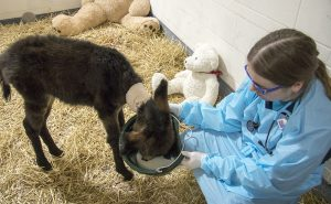 Tracy Swanson helps Noodles learn to drink milk from a bucket