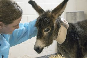 Lynn Martin, a specialist in equine internal medicine, calms her 1-day-old patient, Noodles the donkey.