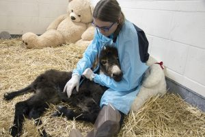 Tracy Swanson, VM4, takes a turn keeping Noodles company. The VHC foal team kept a 24/7 watch on the foal and comforted her while she recovered.