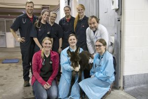 "It took a total team effort to rescue the distressed foal. Back row, from left: Hagan Dooley, DVM '18; Eileen Donoghue, VM4, Mackenzie Luick, VM4, Brienna Rohe, VM4, Abby Schmit, DVM '18; Professor Philip Johnson, BVSc (Hons), MS, MRCVS. Front row: Alexandra ""Sunny"" Comly, DVM; Lynn Martin, DVM, MPH; Noodles; Tracy Swanson, VM4."