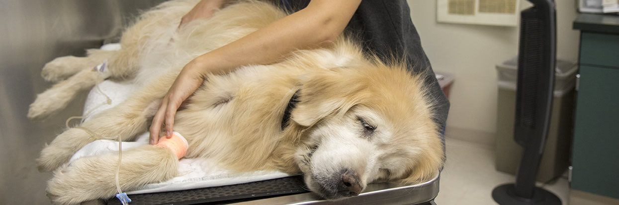 MU VHC Enrolling Dogs with Cancer in Unique Clinical Drug Trial