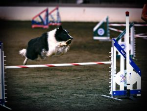 Gus had a clean run and qualified at the AKC National Agility Championship in March of 2017 in Perry, Georgia.