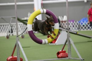 Raylene, one of the top 20 Doberman pinschers in America in AKC agility, demonstrates her tire jump skills.