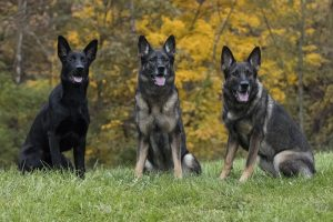 Three generations of Miller dogs (from left): Aylin, Zara and Schatzi.
