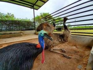 A Southern cassowary and greater emus that Van Kan worked with in Thailand