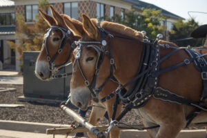 The Mule Team of Boone and George provided wagon rides during the Alumni Weekend tailgate.