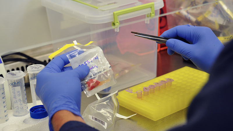 The MU Veterinary Medical Diagnostic Laboratory receives swine tissue samples from across Missouri to conduct tests for African Swine Fever.